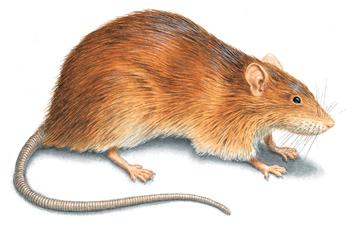 Houston Rat Control